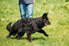 Schwarzer Schäferhund Dog Sit In Green Grass Elsässer Wolf Dog Lizenzfreies Stockbild