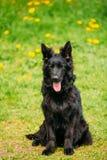 Schwarzer Schäferhund Dog Sit In Green Grass Elsässer Wolf Dog Lizenzfreies Stockfoto