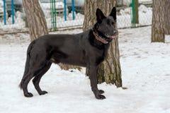 Schwarzer Schäferhund im Schnee stockbild