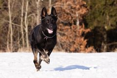 Schwarzer Schäferhund im Winter Stockfoto