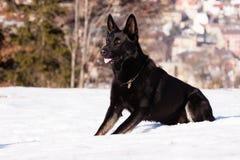 Schwarzer Schäferhund im Winter Lizenzfreies Stockfoto