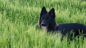 Schwarzer Schäferhundhund auf dem Gerstengebiet Stockfotografie