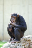 Schwarzer Schimpanse Stockfotografie