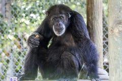 Schwarzer Schimpanse Lizenzfreie Stockfotografie