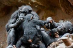 Schwarzer Schimpanse-Säugetier-Affe Stockbild