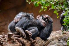 Schwarzer Schimpanse-Säugetier-Affe Lizenzfreie Stockfotografie