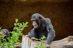 Schwarzer Schimpanse-Säugetier-Affe Lizenzfreies Stockfoto