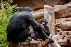 Schwarzer Schimpanse-Säugetier-Affe Stockbilder