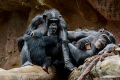 Schwarzer Schimpanse-Säugetier-Affe Lizenzfreie Stockfotos