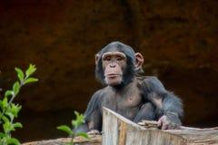Schwarzer Schimpanse-Säugetier-Affe Stockfotografie