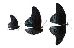 Schwarzer Schmetterling Lizenzfreie Stockfotografie