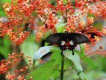 Schwarzer Schmetterling auf roter Blume Stockbild