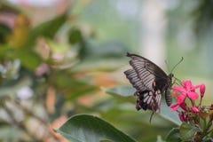Schwarzer Schmetterling aufgeworfen auf der roten Blumenfütterung und unscharfen Hintergrund stockbilder