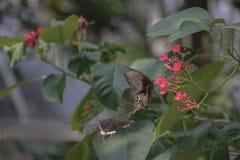 Schwarzer Schmetterling aufgeworfen auf der roten Blumenfütterung und unscharfen Hintergrund lizenzfreie stockbilder