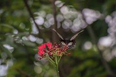 Schwarzer Schmetterling aufgeworfen auf der roten Blumenfütterung und unscharfen Hintergrund lizenzfreies stockbild