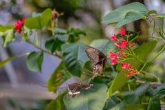 Schwarzer Schmetterling aufgeworfen auf einer roten Blumenfütterung stockfotos