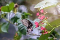 Schwarzer Schmetterling aufgeworfen auf einer roten Blumenfütterung lizenzfreie stockfotografie