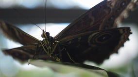 Schwarzer Schmetterling, der auf einem Blatt sitzt Feld Wildes Naturkonzept stock video