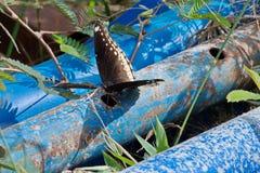 Schwarzer Schmetterling, der auf einigen blauen Rohren sich sonnt Lizenzfreie Stockfotos