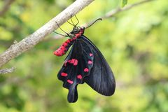 Schwarzer Schmetterling im Garten lizenzfreies stockbild