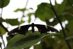 Schwarzer Schmetterling mit Antennen auf dem grünen Blatt lizenzfreies stockbild