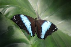 Schwarzer Schmetterling mit dem blauen Streifen, der auf tiefgrünem Blatt sitzt lizenzfreie stockfotos