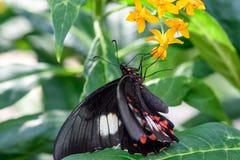 Schwarzer Schmetterling mit roten Punkten Lizenzfreies Stockbild