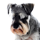 Schwarzer Schnauzerhund, der unten schaut stockfotos