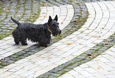 Schwarzer schottischer Terrier geht die gepflasterten Wege des Parks Stockfotografie