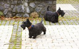 Schwarzer schottischer Terrier geht die gepflasterten Wege des Parks Stockfoto