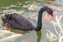 Schwarzer Schwan auf einem Teich Lizenzfreies Stockfoto