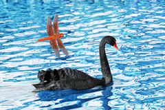 Schwarzer Schwan auf Teich mit Libelle Lizenzfreies Stockbild