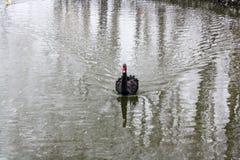 Schwarzer Schwan, der auf den Teich schwimmt stockbilder
