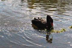Schwarzer Schwan in einem Teich Lizenzfreies Stockbild