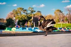 Schwarzer Schwan im älteren Park von Adelaide Stockbilder