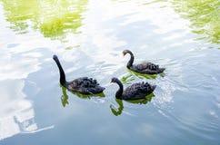 Schwarzer Schwan im See Stockfotografie