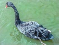 Schwarzer Schwan im Wasser Stockfotografie