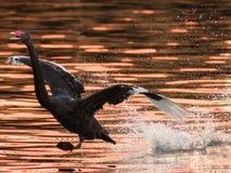 Schwarzer Schwan-Landung auf einem See stockbild