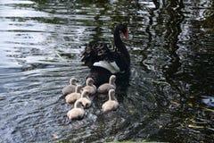 Schwarzer Schwan mit Babys stockfoto