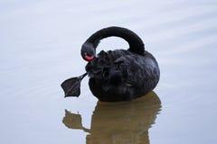 Schwarzer Schwan mit seinem Bein heraus Stockfoto