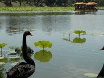 Schwarzer Schwan Peking-Parks Stockbild