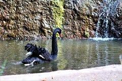 Schwarzer Schwan am Phoenix-Zoo in Phoenix, Arizona in den Vereinigten Staaten lizenzfreies stockfoto