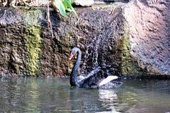 Schwarzer Schwan am Phoenix-Zoo in Phoenix, Arizona in den Vereinigten Staaten lizenzfreie stockfotos