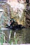 Schwarzer Schwan am Phoenix-Zoo in Phoenix, Arizona in den Vereinigten Staaten stockfotos