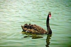 Schwarzer Schwan schwimmt stockfotos