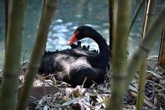 Schwarzer Schwan sitzt im Nest lizenzfreie stockbilder