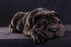 Schwarzer Shar Pei auf schwarzem Hintergrund lizenzfreie stockfotografie