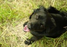Schwarzer sitzender Hund, der aufwärts die Kamera mit seinem tongu untersucht Lizenzfreies Stockbild