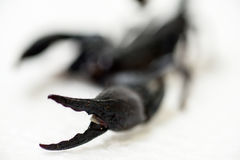 Schwarzer Skorpion Lizenzfreie Stockfotografie