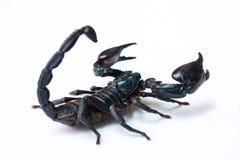 Schwarzer Skorpion lokalisiert Lizenzfreies Stockbild